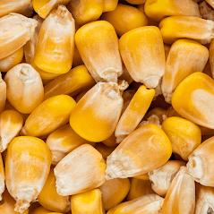 White/Yellow Corn 25 Metric Tons(Min. Order)